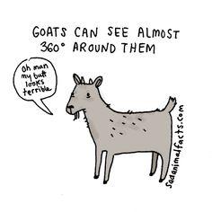 I've got some bad news about goats. Sad animal facts .com