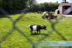Picture of a goat from Reaseheath College