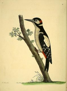 A natural history of birds :. London :Printed for the author and sold by William Innys in St. Paul's Church yard, John Clarke under the Royal-Exchange, Cornhill, and John Brindley at the King's Arms in New Bond-Street,1731-1738