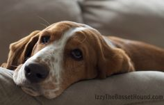 I better get started, this morning nap isn't gonna take itself. - Izzy the Basset Hound
