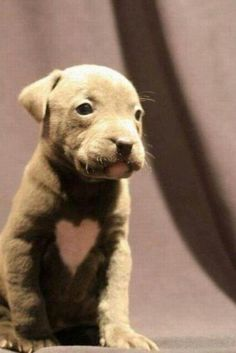 A pit bull puppy named Love with a <3 on it's chest