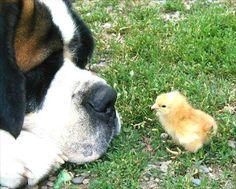 犬とひよこの対峙:占いの三昧地(さんまいち) - 王虎応 - http://www.rokko-s.jp/torasan/2010/12/post-44.html