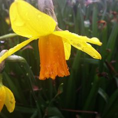 Sweet daffodil in the morning dew.  (at Lewis Ginter Botanical Garden)