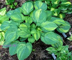 Dorothy Benedict (R H Benedict) Beautiful hosta from Frances Williams. On wish list for when I find more room for hostas.