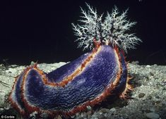Looking good: A sea cucumber could hold the key to younger skin, as they can change the elasticity of their collagen