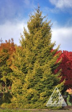 Picea orientalis Skylands - autumn:  Bold, but not gaudy, this full, upright spruce is an excellent choice for adding bright, year-round color to a large garden. Its fine, spiky needles emerge electric yellow in spring and gradually soften to a rich gold that stands out against the dark green, interior foliage.
