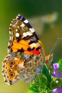 Beautiful Butterfly by Konstantine Deryabkin Flying Flowers, Butterflies Flying, Paper Butterflies, Butterfly Kisses, Butterfly Flowers, Butterfly Mobile, Orange Butterfly, Monarch Butterfly, Butterfly Wings