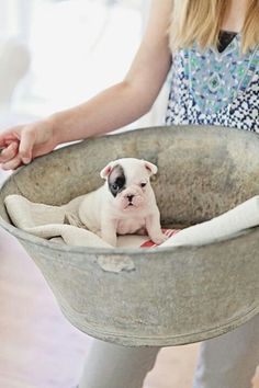 French Bulldog Baby in a zinc tub Limited Edition French Bulldog Tee http://teespring.com/lovefrenchbulldogs