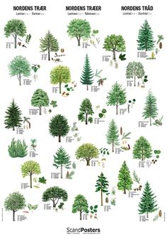 Recognize the trees from the nature with a beautiful and unique tree poster. Each tree is depicted with leaves and flowers, seeds and fruits respectively. Conifer Trees, Deciduous Trees, Leaf Identification, Bird Poster, Poster Poster, Nature Posters, Watercolor Plants, Unique Trees, Metal Tree Wall Art