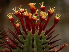 Euphorbia enopla della famiglia delle Euphorbiacee