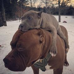 """24.4k Likes, 369 Comments - Pit Bulls Villa (@pitbullsvilla) on Instagram: """"Daddy carries mein when it's cold outside.  ▪️Credits: @darkdynastyk9s"""" #pitbull"""