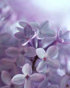 lilacs close up.