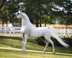 RAZCAL BEY++/ (Bravado Bey V x CA Rufflesnlace) 2005 Purebred Grey Stallion