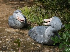 Shoebill- The name of this bird was basically taken from their beak's shape. They were only documented during the 19th century.