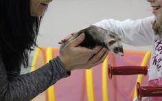 Voyelle ''faiseuse'' de sourires! Ce petit furet magique qui a aidé cette petite fille à vaincre sa peur des animaux! #ferret