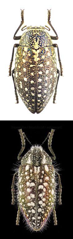 Julodis albomaculata