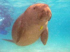 #Dugong