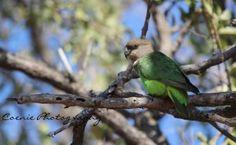 Bruinkop papegaai