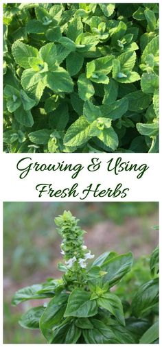 Growing fresh herbs gives you fresh flavor all year long. Click through to see my herb growing guide.
