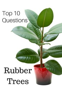 How to Grow a Rubber Tree. The rubber tree or plant (Ficus elastica decora) is a favorite houseplant with large, thick, glossy green leaves. Rubber trees will grow well in most homes with just a little care, but they can get fairly large.