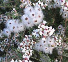 Eriocephalus africanus/ African Rosemary or Cape Snow Bush / Seeds Moonflower Vine, Balcony Plants, Cold Frame, Desert Plants, Shrubs, White Flowers, Perennials, Planting Flowers, South Africa