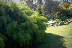 Acacia River Cascade is a graceful medium size weeping shrub with fine bright green foliage that forms a rounded bush. River Cascade grows to about 1 meter tall and a 1m wide, a little taller than other Acacia Cognata varieties.