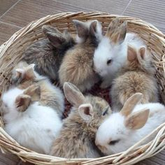 basket full of puppies - puppies in a basket . puppies in a basket drawing . basket of puppies . basket full of puppies . puppies in easter basket . puppies in baskets . easter baskets for puppies Cute Baby Bunnies, Funny Bunnies, Pictures Of Baby Bunnies, Bunny Pics, Animals And Pets, Funny Animals, Cute Little Animals, Tier Fotos, Hamsters