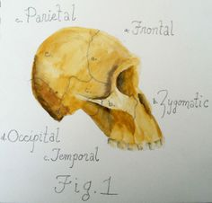 A generalized hominid skull with labels indicating the regions for which pieces have been recovered sp far on the Rising Star Expedition. (I...