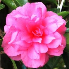 Camellia Chansonette Glamorous flowering hedge, potted shrub or specimen plant. Big double pink blooms in autumn and winter on glossy evergreen plants to 3m. Lime free soil and a sheltered spot for best results. #shade tolerant #flowering pink