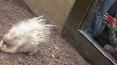 Meet blondie, a captive albino porcupine from London Zoo.  #porcupine #albino #cute