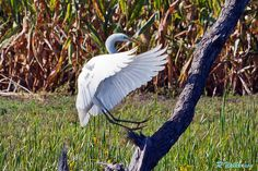 Landing Gear Down  #egret #birds #Photography #500px