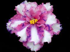 striped pink and blue african violet | African Violet Chimeras
