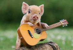 This little piggy went to market to play his guitar for all the people...