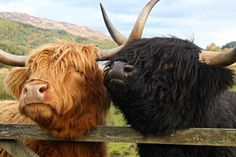 Aberdeen angus (highland cows from scotland )