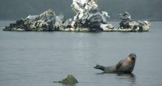 A seal moved into the freshwater lakes of Killarney via the Laune River. The sight of the animal about away from the coast astonished Mike O'Sullivan, a keen walker and angler, when he was out for a walk on Wednesday. Fresh Water, Seal, Ireland, Wildlife, Coast, Waves, Wednesday, Irish, How To Make