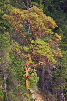 madrona trees grow only within one mile of salt water Tree Leaf Identification, Arbutus Tree, Street Trees, Tie Dye Crafts, Tree Paintings, Australian Bush, Pretty Images, Patio, Tree Leaves