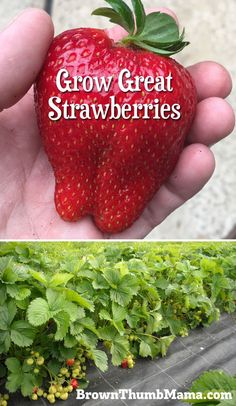 Container Gardening For Beginners Strawberries are super-easy to grow, but there are a few important tips to keep in mind. Here's everything you need to know to grow gallons of strawberries in your garden. Strawberry Planters, Strawberry Garden, Fruit Garden, Strawberry Companion Plants, Strawberry Varieties, Organic Vegetables, Growing Vegetables, Gardening Vegetables, Growing Herbs