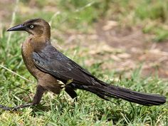 Female Great-tailed Grackle -  There's a couple of these beauties that come every year and build their next on the wisteria arbor.