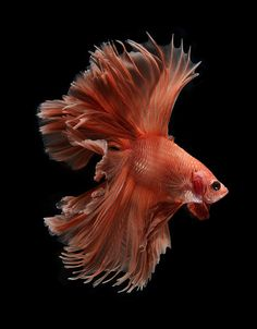 betta fish, Siamese fighting fish on black background Pretty Fish, Beautiful Fish, Colorful Fish, Tropical Fish, Freshwater Aquarium, Aquarium Fish, Fish Aquariums, Poisson Combatant, Beautiful Creatures