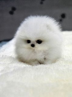 what is the cutest and smallest dog in the world - Google Search