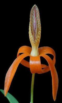 Dendrobium unicum #plantascolgantes