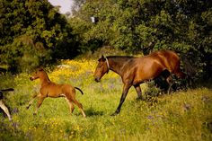 Alter Real mare and foal Alter Real, Portugal, Horse Mane, Mane N Tail, Large Animals, Horse Breeds, Beautiful Horses, Equestrian, Dog Cat