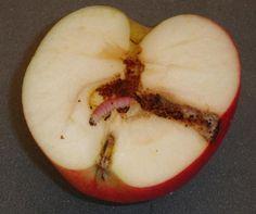 Fruitmot of appelmade. Kom jij het volgende ziektebeeld tegen in je fruit? Tijd voor aaltjes! https://www.ecostylewebshop.nl/assortiment/aaltjes/aaltjes-fruitmot-1-tot-5-bomen…