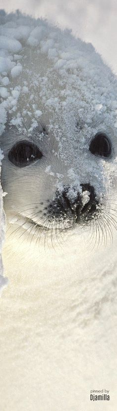 Seal Pup OMG THOSE EYES IM KISSING HER NOSE RIGHT NOW