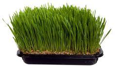 100% Biologische topkwaliteit tarwegras per bak: