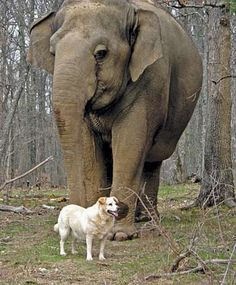 amazing story about the friendship between this dog and elephant and how the elephant grieved the loss of the dog when she was attacked and killed...such a touching story, you have to read this!