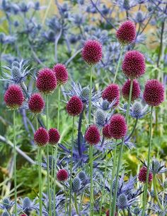 Allium sphaerocephalon - Round Headed Leek with blue Eryngium
