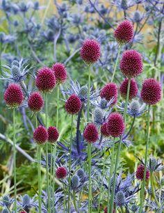 Nice color combo!  Allium sphaerocephalon & Round Headed Leek with blue Eryngium as seen on sararaven.com