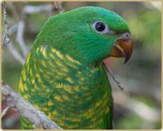 Scaly-breasted Lorikeet   Atherton Tablelands   Queensland   Australia #wildlife #birds