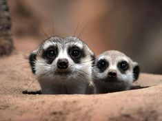 Stare cases: A mini meerkat learns from its mum... simples
